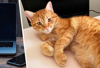 Хозяева думали, что их кот зависает на дереве, а оказалось — в Интернете. И соседка уже оценила его вкусы