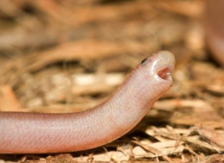 Садовница нашла в клумбе маленького червячка и зря взяла в руки. Малыш раскрыл обман, высунув раздвоенный язык