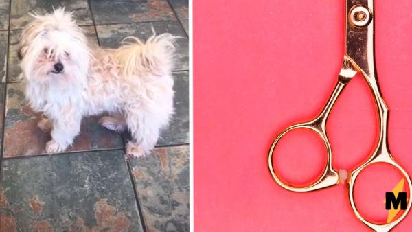 Хозяйка отдала грумеру собаку, а получила нечто. Этот пёс явно сделал каминг-аут как чихуахуа или лама