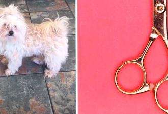 Хозяйка отдала грумеру собаку, а получила нечто. Этот пёс явно сделал каминг-аут как лама или чихуахуа