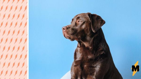 У пса появилась шишка на голове и сделала его звездой. Косплееры, расходитесь, найден лучший костюм Мегамозга