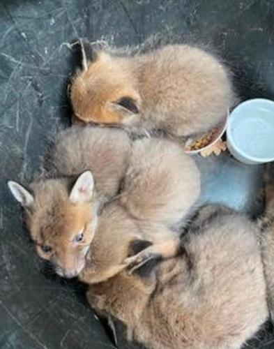 Семья нашла в саду мохнатый клубок и думала - коты. Ошибка, ведь уже наутро им пришлось вызывать спасателей