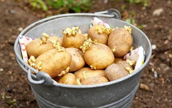 Садовод на год забыл картошку в подвале, и не верит глазам. Теперь ясно - корнеплод не так прост, как кажется