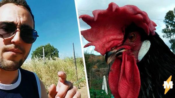 Фермер показал петуха, сломавшего матрицу (и себя). Птица с головой вместо хвоста сложилась как столик из Икеа
