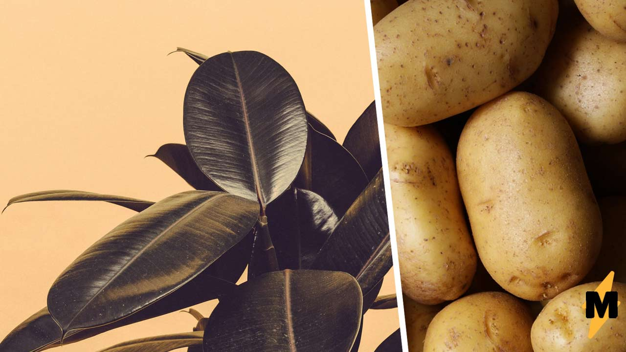Садовод на год забыл картошку в подвале и не верит глазам. Теперь ясно  корнеплод не так прост, как кажется