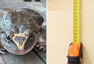 Гигантских лягушек не существует? Ошибаетесь — амфибия на фото размером с ребёнка уже готова доказать обратное