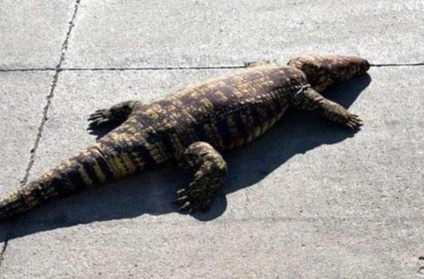 Люди боялись покинуть дом из-за крокодила. Узнав, кого приняли за годзиллу, они нашли повод запереться навечно