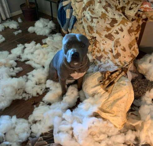 Хозяйка думала, что завела собаку, а на самом деле получила бульдозер. С навыками пёси только здания сносить
