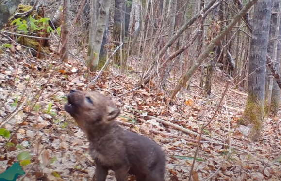 Лесная камера сняла первый вой волчонка, и он не такой милый, как мы думали. Домашних питомцев он сводит с ума