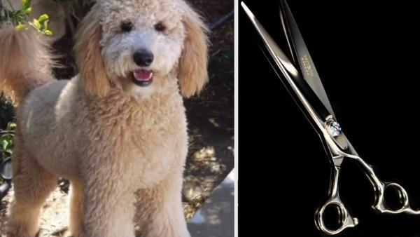 Грумер постриг собак и показал, как выглядит пудель-сфинкс. Определить породу псов теперь cможет лишь ДНК-тест