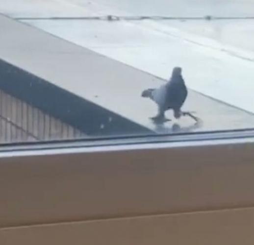 Утка или голубь? Всё вместе, судя по лапам пернатого мутанта, с которыми он легко может нырнуть в воду