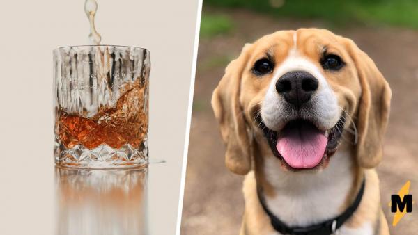 Хозяин завёл пса и узнал, что тот - алкоголик. Видели бы вы, какую морду он строит ради виски (и как его пьёт)