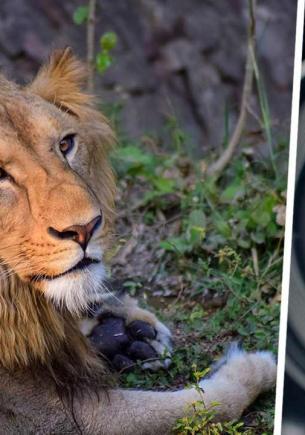 Лев приуныл и доказал, что похож на людей. Выражение его морды на фото — печаль, тоска и все мы после майских