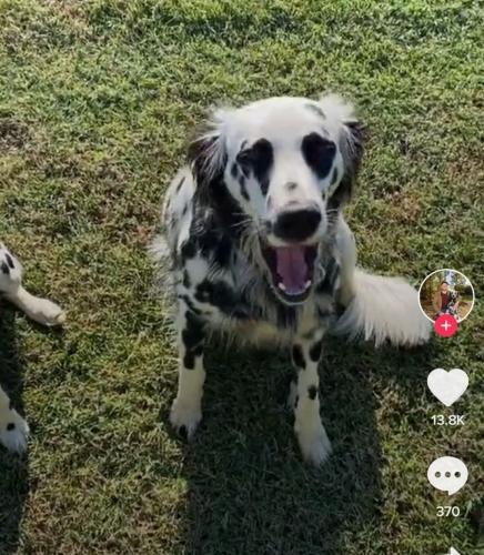 Хозяин показал пса, который выглядит как помесь далматинца с ретривером. Вы тоже попадетесь в эту ловушку
