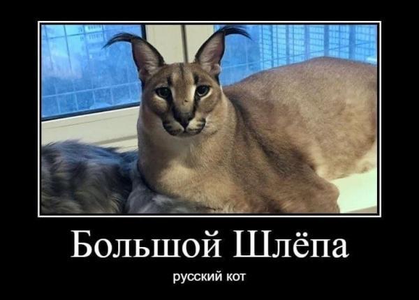 """""""Мама, смотри, это Хасбик"""". Теперь кота Шлёпу из флешмоба не встретить в Сети - его место занял дагестанец"""