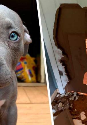 Хозяйка думала, что завела собаку, а на самом деле получила бульдозер. С навыками пса только здания сносить