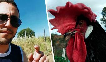 Фермер показал петуха, сломавшего матрицу (и себя). Птица с головой вместо хвоста сложилась как столик из IKEA