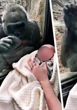 Мама показала горилле своего младенца и не верит глазам. Реакция обезьяны сломала учёных и один мимимиметр