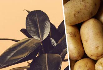 Садовод на год забыл картошку в подвале и не верит глазам. Теперь ясно — корнеплод не так прост, как кажется