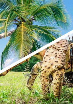 Зоолог снял рака-грабителя и доказал — так его назвали неспроста. После встречи с ним туристы остаются босыми