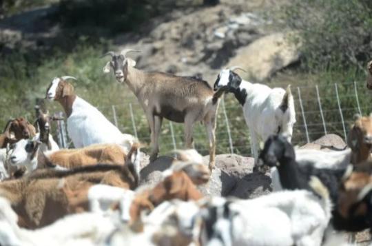 Пришли как-то козы в библиотеку... И это не начало анекдота, а суровая реальность. Животных привели пожарные