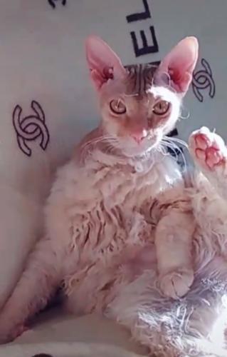 Кошка-сфинкс загуляла с дворовым Васей, и итог - поломка для глаз. Ведь плод их любви - первый кот-конструктор