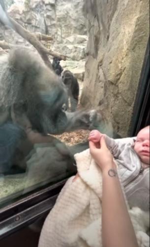 На прогулке в зоопарке мама увидела гориллу и поднесла к ней младенца. Вас удивит то, что произошло дальше