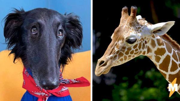 Это жираф? Это гусь? Нет, на фото обычная собака, но при виде её длинной шеи хочется втянуть голову в плечи