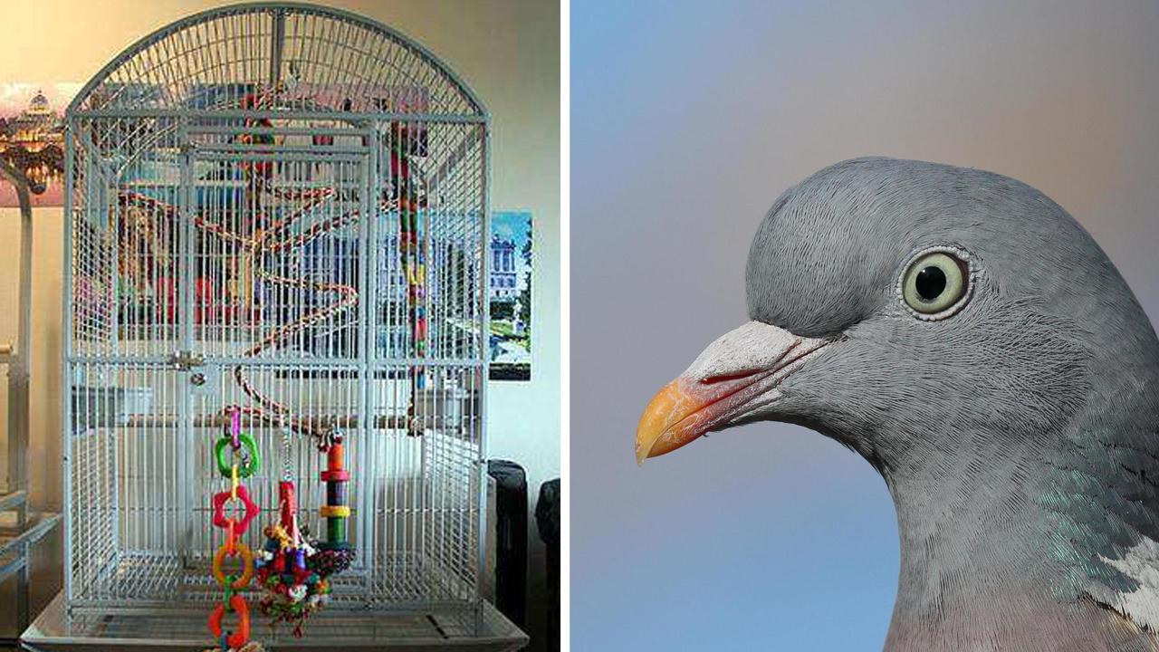 Заводчик птиц показал своих голубей и поломал людей. Ещё бы, у пернатых нет голов (почти), но они счастливы