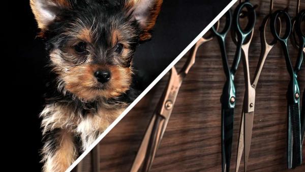 «Собаке жарко», - решила хозяйка и взяла ножницы. Одно лишнее движение, и йоркширский терьер стал сфинксом