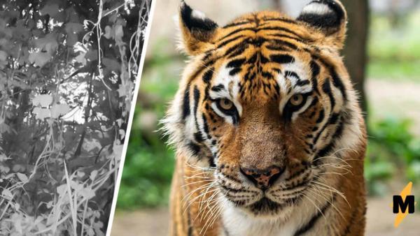 Фотограф сделал снимок тигра, а получился затаившийся дракон. Найти хищника на фото сможет лишь гуру выдержки