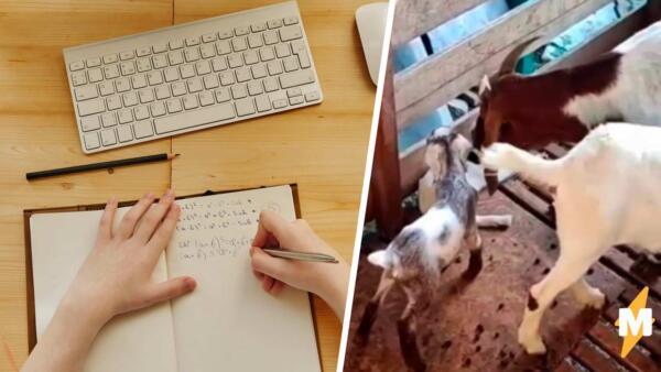Пёс съел домашку? Прошлый век. Коза решила родить невовремя — предлагает рабочий вариант студент из Малайзии