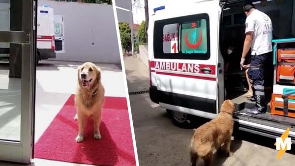 Пёс пытался запрыгнуть в салон скорой к хозяйке, но врачи не ожидали