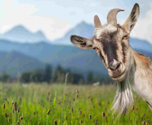 Старик увидел козу и понял: