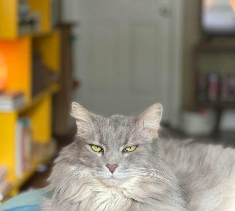 Почему не стоит брить пушистых котов? Один взгляд на фото кошки после грумера, и вопросы отпадут сами собой