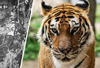 Фотограф сфоткал тигра, а вышел затаившийся дракон. Найти хищника на снимке — настоящий тест на внимательность