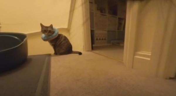 Хозяин надел камеру на кота перед уходом из дома. Так он узнал, почему питомец так странно ведёт себя на людях