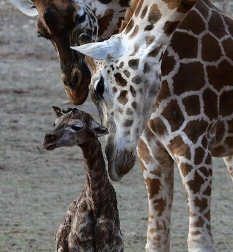 Жираф встретил друга, но радовался недолго. Он понял, с кем игрался, и когнитивного диссонанса не избежать