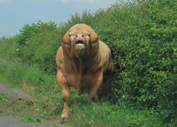 """Пара услышала звук, а через секунду увидела быка размером с авто. Он - мем """"Как дела в качалке?"""" из мира фауны"""