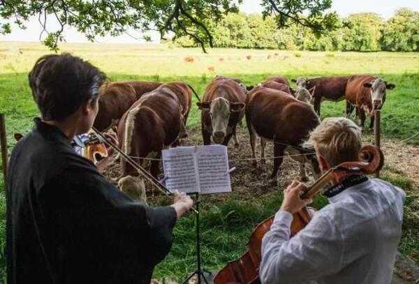 Музыка не для людей. Камерный оркестр сменил публику, и теперь коровы пасутся под ре мажор