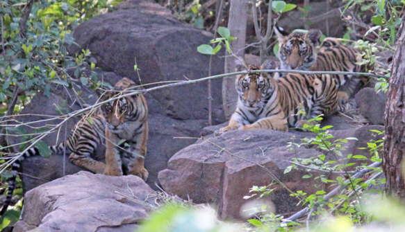 Папа-тигр заботится о тигрятах и удивляет экологов. Отец-одиночка наплевал на законы природы