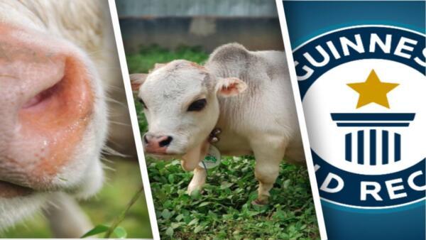 В Бангладеше нашли самую короткую и низкую корову. Её зовут Рани, и она выглядит как мем