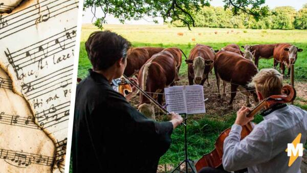 Музыка не для людей. Камерный оркестр сменил публику, и теперь коровы пасутся под скрипку