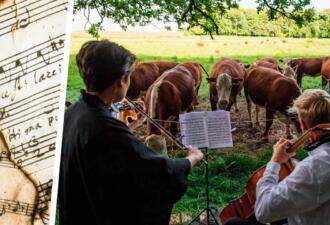 В Дании коровы пасутся под скрипку. Современная музыка их раздражает, прости, Моргенштерн