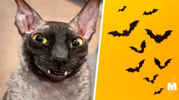 Грация кота, внешность - граф Дракула. Люди увидели кота-летучую мышь и готовы точить колья