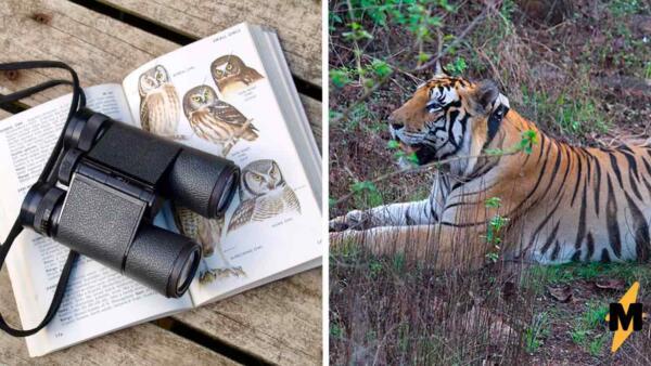 Папа-тигр заботится о тигрятах и удивил зоологов. Отец-одиночка наплевал на законы природы