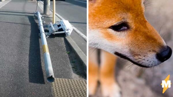 Светофор упал, и полиция винит собак, метивших его. Опыт подтвердил - псы портят города