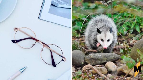 """Хозяйка не понимала, почему кот не идёт на """"кис-кис"""". Надев очки, она узнала в самозванце опоссума"""