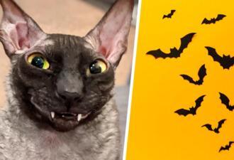 Клыкастый кот Пиксель похож на графа Дракулу. Перепутать корниш-рекса с летучей мышью легко