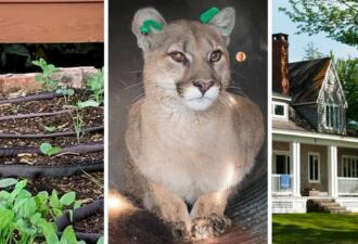 Житель США с помощью домашнего кота нашел спрятавшуюся пуму у себя под домом